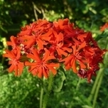 Amour Ardent (Lychnis chalcedonica)