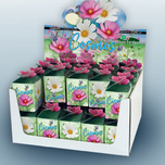 Greengift Cosmos Mix 40 pcs en showbox