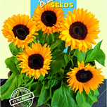Helianthus Sunrich orange F1
