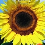 Tournesol – Helianthus uniflorus gig.