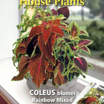 Plante d'Appartement Coleus Rainbow mix