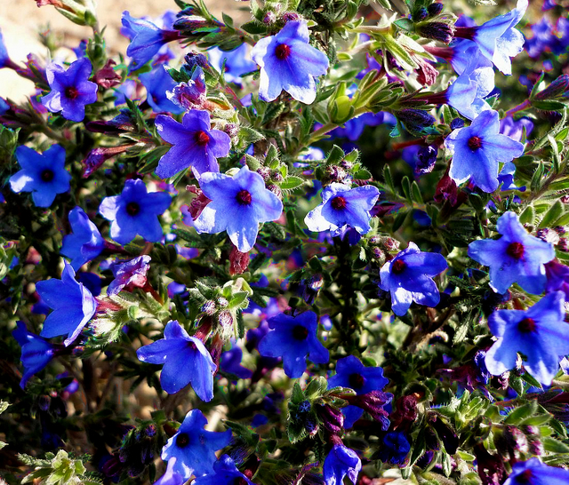 Grémil « Heavenly Blue » (Lithodora diffusa)