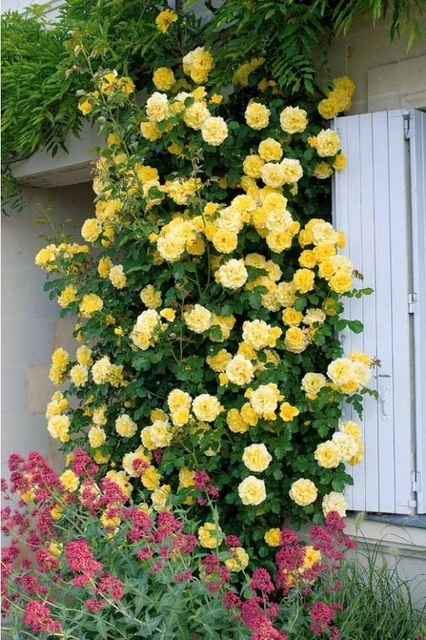 Rosier Grimpant Golden Climber