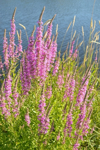 Lythrum Salicaria Robert - Salicaire (Pack de Six)