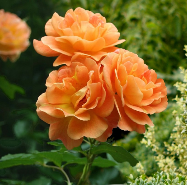 Rosa Orange Climber - Rosier Grimpant
