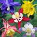 Aquilegia Mix - Ancolies (Pack de Six)