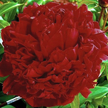 Pivoine Red Magic