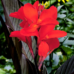Canna brun-rouge
