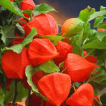 Amour en cage - Physalis Franchetti