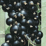 Baie noire (cassis - Ribes nigrum)
