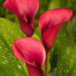 Zantedeschia Rouge