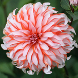 Dahlia Decorative Santa Claus