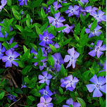 Pervenche commune (Vinca minor)