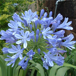 Agapanthus Blue Umbrella - Agapanthe