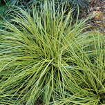 Laîche carex oshimensis « Ever Gold » (P9)