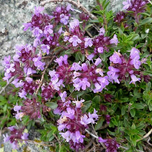 Thymus praecox « Purple Beauty » - Thym