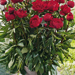Rose Pivoine Baby Red