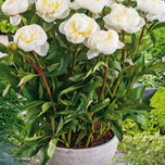 Rose Pivoine Baby White