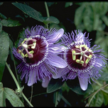 Passiflora Purple Haze (Passiflore)