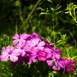 Phlox subulata Mac Daniels Cushion - Phlox mousse