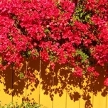 Bougainvillea Rouge (Plantes en Pot)