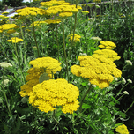 Achillée « Cloth of Gold » (Achillea Filipendulina) Plantes en Pot
