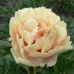 Pivoines Saumon Rose Canary Brilliant Itoh