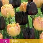 Tulipes Brown Sugar en Mélange