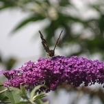Arbre à papillon Empire Blue - Buddleja