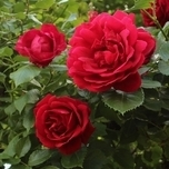 Rosa Red Climber - Rosier Grimpant