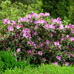 Tailler un Rhododendron