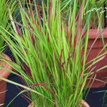 Herbe de sang japonaise Red Baron - Imperata cylindrica (Pack de Six)