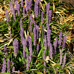 Liriope Moneymaker - Liriope Muscari (Pack de Six)