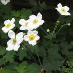 Anemone hybrida « Honorine Jobert » (Pack de Six)