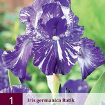 Iris Germanica Apache Warrior