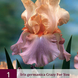 Iris Germanica Crazy for You - Iris d'Alemagne