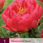 Pivoine Coral Sunset
