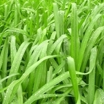 Laîche Japonaise « Irish Green » (Carex)