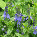 Véronique d'Autriche « Royal Blue » (Veronica Austriaca)