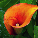 Zantedeschia Orange