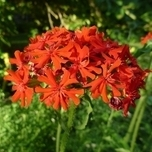 Amour Ardent (Lychnis chalcedonica) Pack de Six