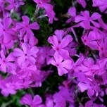 Phlox Subulata Purple Beauty - Phlox Mousse (Pack de Six)