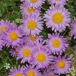 Aster Alpinus Happy End - Aster des Alpes