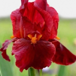 Iris Germanica Red Zinger - Iris d'Allemagne