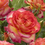 Rosa Two Colors - Rosier