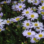 Kalimeris incisa Blue Star - Aster japonais