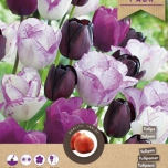 Tulipes Purple Passion
