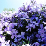Phlox Subulata Emerald Cushion Blue - Phlox (Pack de Six)