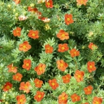 Potentilla Fruticosa  « Red Ace » - Potentille frutescente