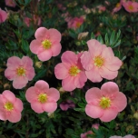 Potentilla Fruticosa  « Pink Queen »